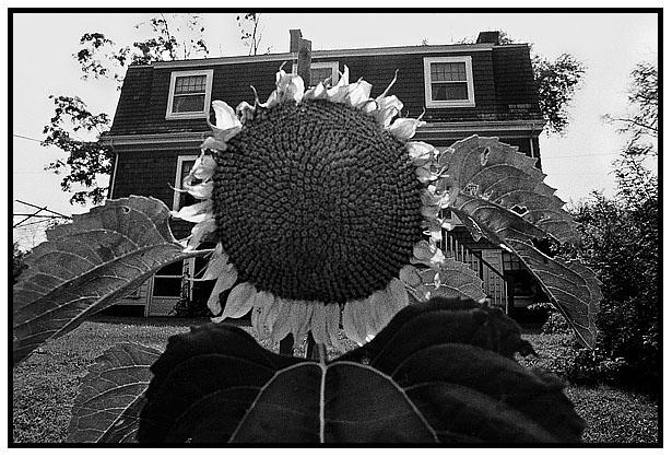 Sunflower-blog.jpg