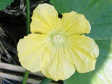 大南瓜の花