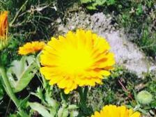 キンセンカ(黄)