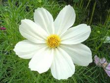 コスモス(白色)