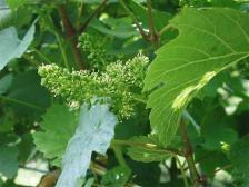 ブドウのハナ[葡萄の花]