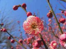 ウメ(梅)の花