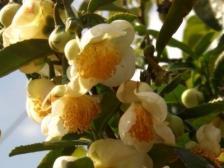 チャノハナ[茶の花]