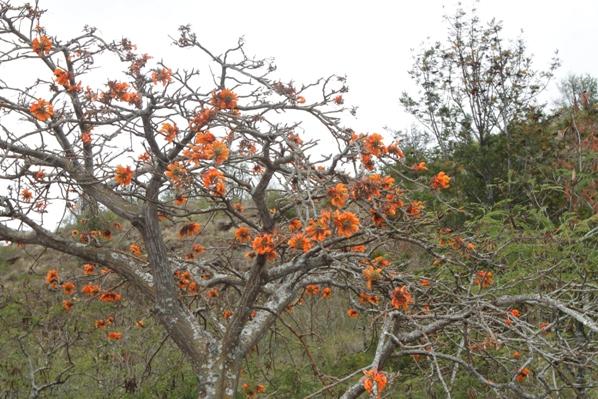 Wiliwili Tree