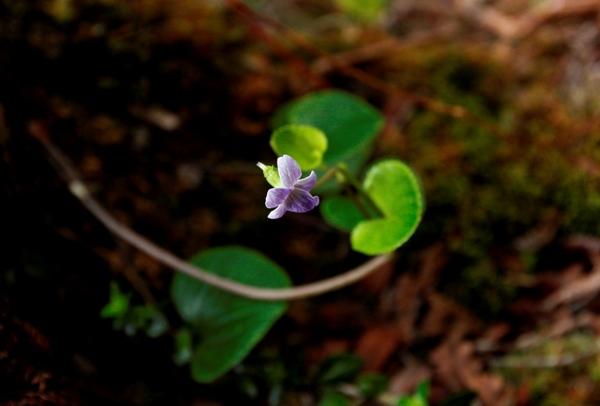 Nani Waialeale Native Hawaiian Violet (Sumire)