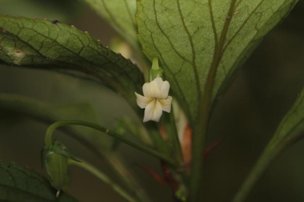 Viola Wailenalenae