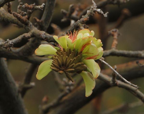 Wiliwili Blossom
