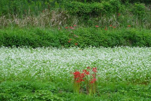 蕎麦の花4