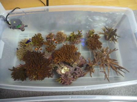サンゴ取り出し