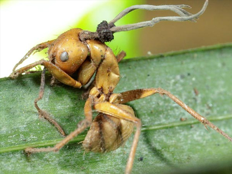 zombie-fungus-infects-insects-mind-control-ant-infected