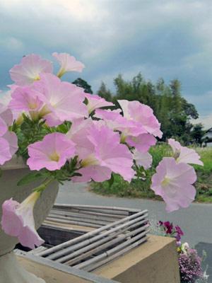 さくらさくらの花