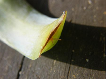 カンテの葉