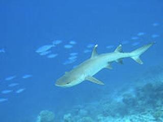 200px-Whitetip-reef-shark.jpg