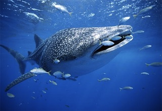 whale-shark-with-fish.jpg