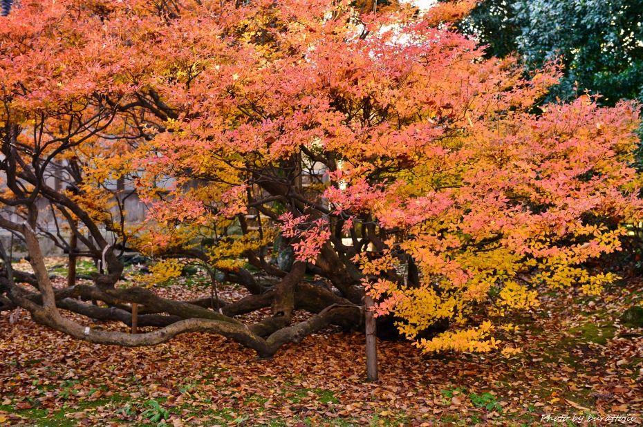 2014.11.28妙法寺のドウダンツツジ3