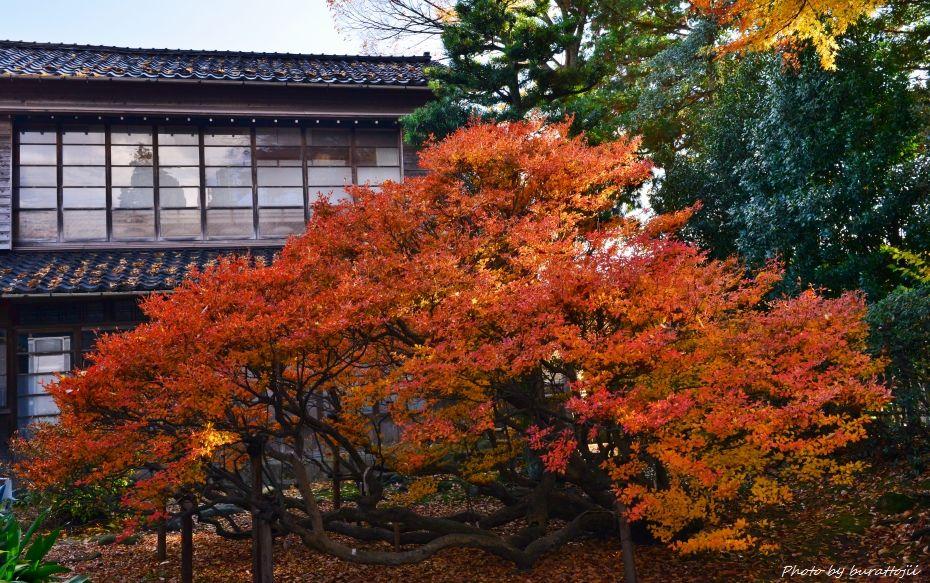 2014.11.28妙法寺のドウダンツツジ2