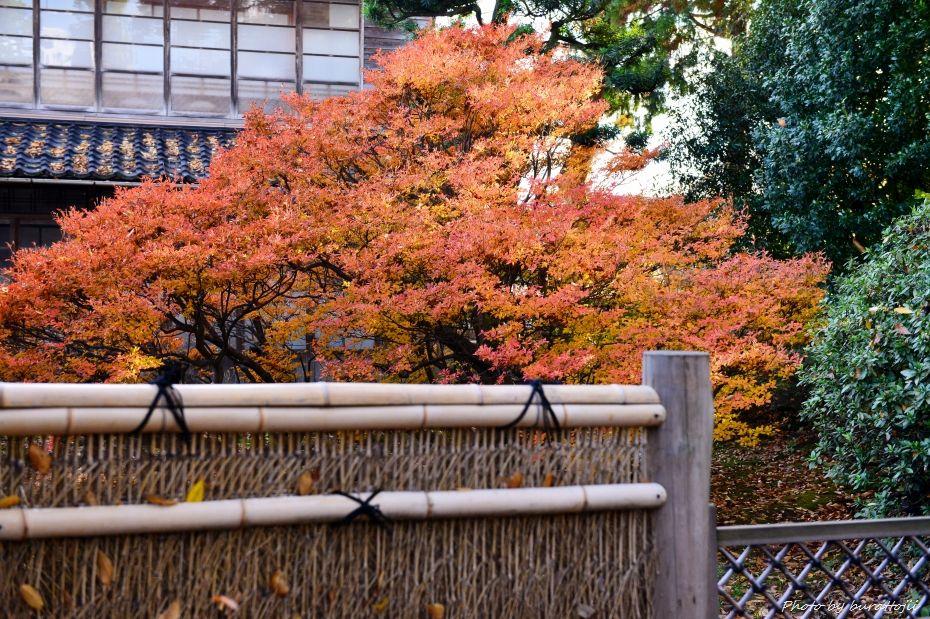 2014.11.28妙法寺のドウダンツツジ1