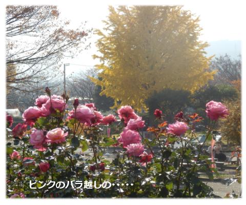 ピンクの薔薇の