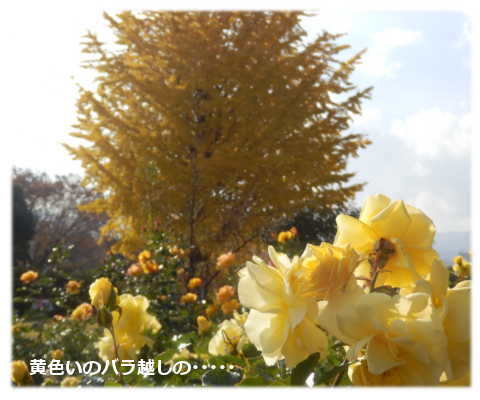 黄色い薔薇と