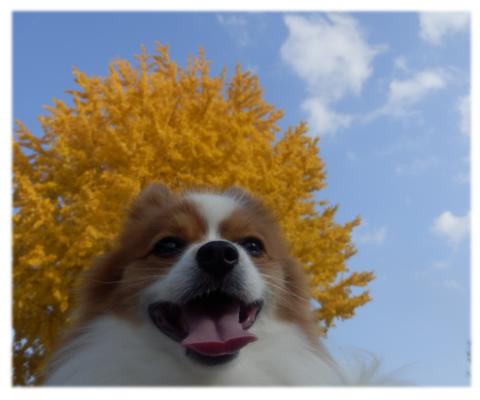 レオくんと黄葉の銀杏