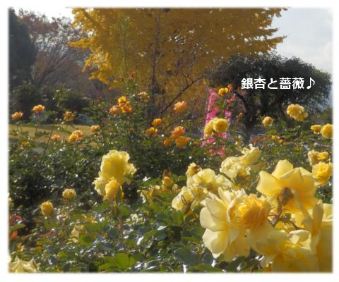 銀杏と薔薇
