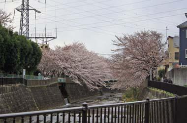 15桜 のコピー