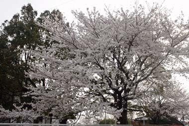19桜 のコピー