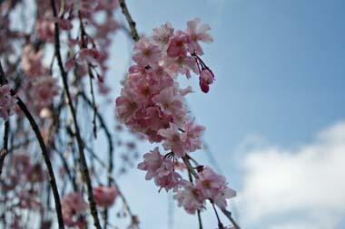 06桜 のコピー