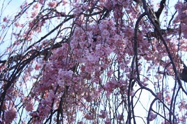 02桜 のコピー