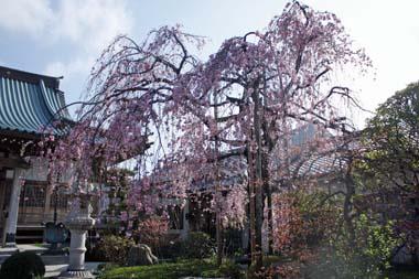 01桜 のコピー