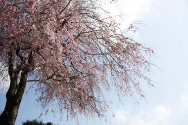 11桜 のコピー