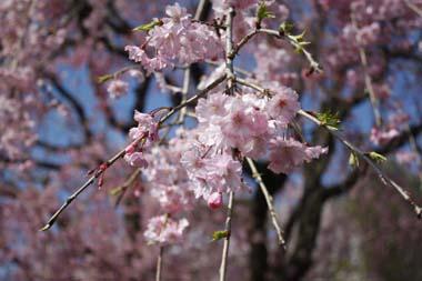 13桜 のコピー