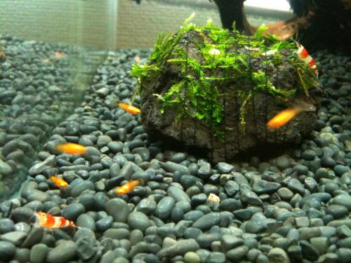 ビーシュリンプとプラティの稚魚