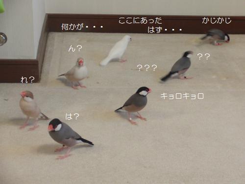 ビビる文鳥ず1