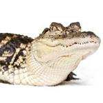 200-IssuesClothingExoticSkinsAnimalsCrocodile.jpg