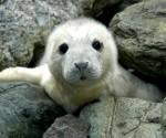 grey-seal-pup (150x125)