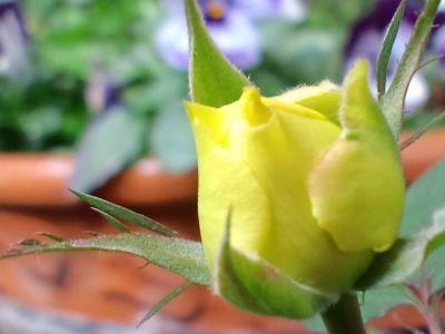 ベランダの薔薇20110209_400