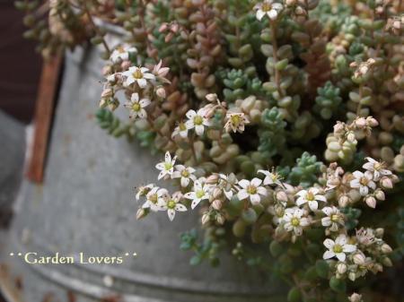 ブレビフォリウムの花