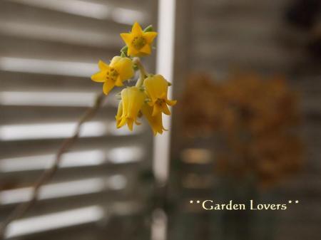 チワワエンシスの花