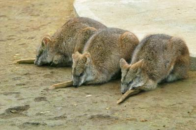 111106wallaby