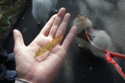 ラクウショウの葉