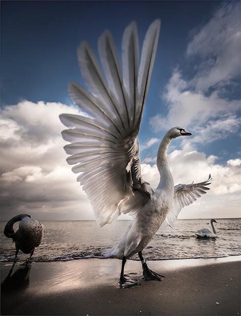 大きく羽根を拡げた白鳥