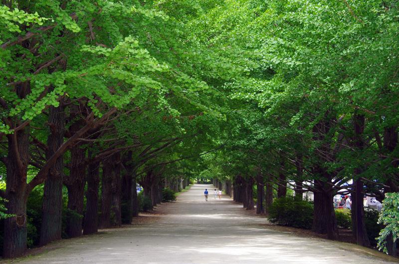 緑のイチョウ並木