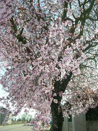 桜 もどき子 (2)