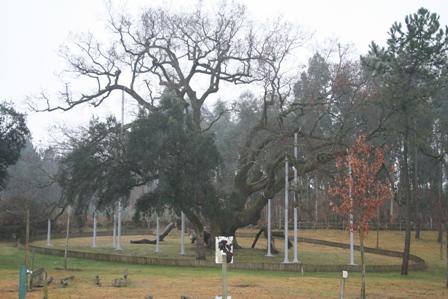 イベリア最古の樫の樹