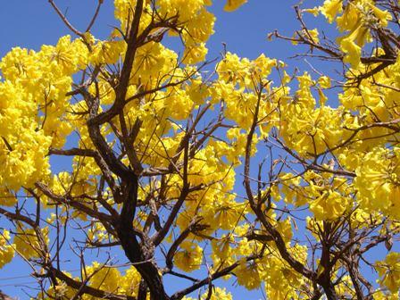 写真 1 高原の黄イペ-