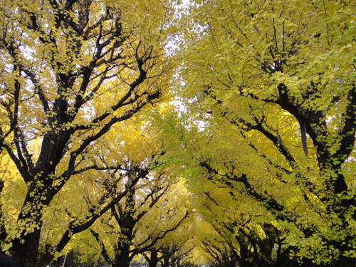 2014The_ginkgo_trees_turned_yewllow_Tokyo-2.jpg