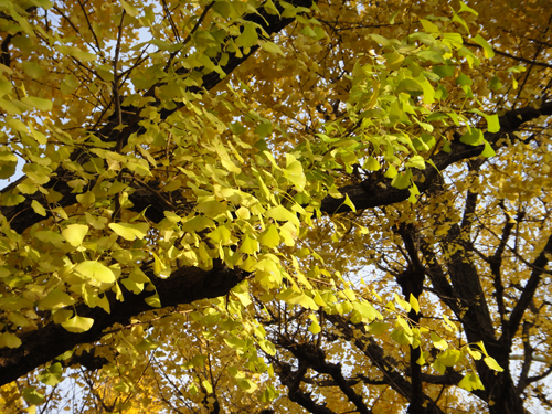 2014The_ginkgo_trees_turned_yewllow_Tokyo-5.jpg