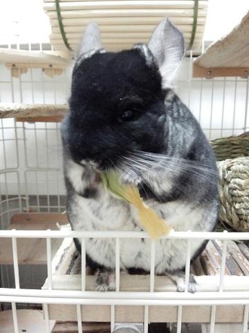 ミニチンゲンサイを食べる加奈ちゃん♪