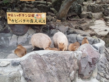 伊豆シャボテン公園 カピバラの露天風呂